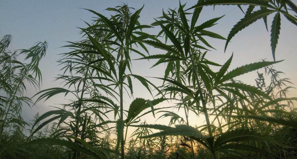 field-hemp