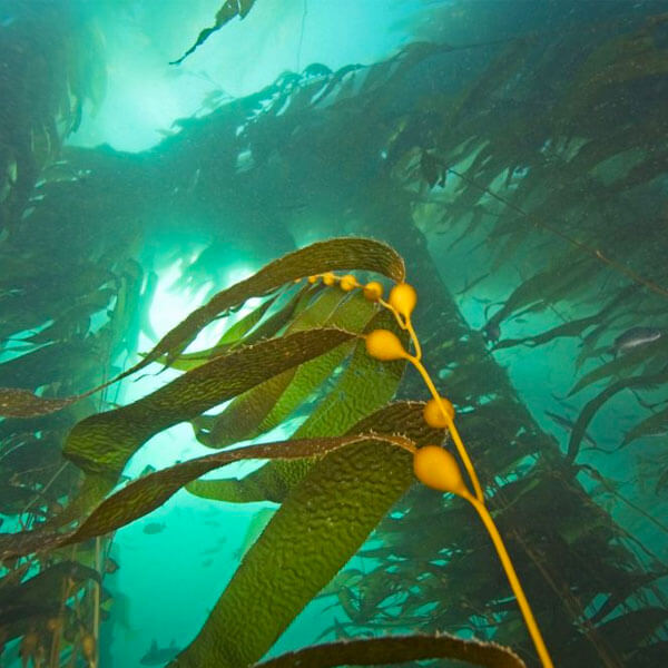 Smart fiber algae