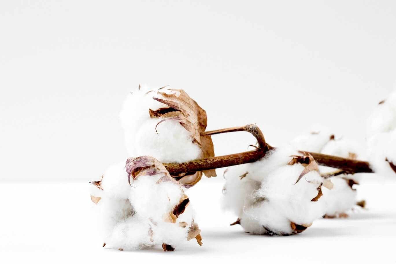 cotton plant in a white background